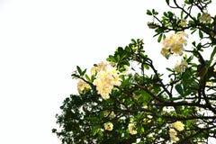 Γράψτε το plumeria στον κήπο Στοκ Εικόνες