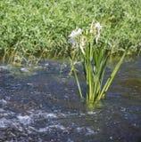 Γρήγορος κρίνος κοπαδιών νερού Στοκ Φωτογραφία