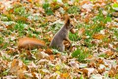 Γρήγορος σκίουρος στην αναζήτηση των καρυδιών Στοκ φωτογραφίες με δικαίωμα ελεύθερης χρήσης