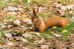 Γρήγορος σκίουρος στην αναζήτηση των καρυδιών Στοκ φωτογραφία με δικαίωμα ελεύθερης χρήσης