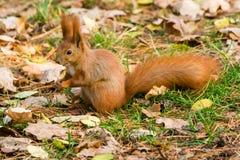 Γρήγορος σκίουρος στην αναζήτηση των καρυδιών Στοκ Εικόνα