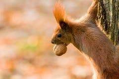 Γρήγορος σκίουρος στην αναζήτηση των καρυδιών Στοκ Εικόνες