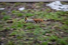 Γρήγορος σκίουρος Στοκ Εικόνες