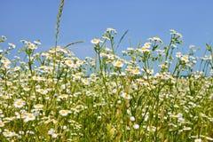 Γρήγορο άνθισμα των ανατολικών φυτών μαργαριτών fleabane Στοκ φωτογραφίες με δικαίωμα ελεύθερης χρήσης