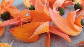 Γρήγορο ξηρό κόκκινο άνθισης λουλουδιών Στοκ Εικόνες