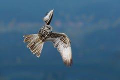 Γρήγορο πουλί στη μύγα Γεράκι Lanner, πουλί του θηράματος που πετά στη φύση με το δάσος στο υπόβαθρο Σκηνή άγριας φύσης δράσης απ Στοκ εικόνες με δικαίωμα ελεύθερης χρήσης