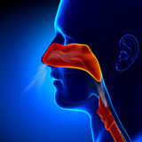 Γρίπη - πλήρης μύτη - ανθρώπινη ανατομία κόλπων Στοκ Εικόνα