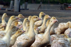 γρίπη των πουλερικών Στοκ εικόνες με δικαίωμα ελεύθερης χρήσης