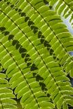 Γραμμές και σκιές στο φύλλο Mimosa Στοκ Φωτογραφίες