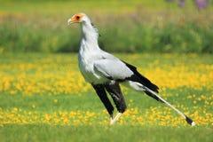 γραμματέας πουλιών Στοκ φωτογραφίες με δικαίωμα ελεύθερης χρήσης