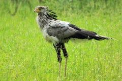 γραμματέας πουλιών Στοκ Φωτογραφία