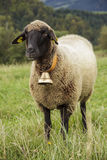 Γραπτά πρόβατα στον τομέα Στοκ φωτογραφίες με δικαίωμα ελεύθερης χρήσης