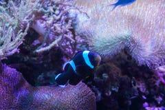Γραπτά ψάρια κλόουν με το κοράλλι anemone θάλασσας στο σκοτεινό ελαφρύ ενυδρείο στοκ φωτογραφίες