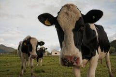 Γραπτές αγελάδες που αντιμετωπίζουν τη κάμερα Στοκ φωτογραφία με δικαίωμα ελεύθερης χρήσης