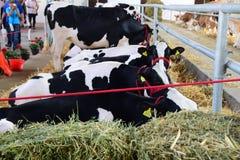 Γραπτές αγελάδες και καφετιές και άσπρες αγελάδες που βόσκουν και που στηρίζονται σε μια σιταποθήκη στοκ φωτογραφία