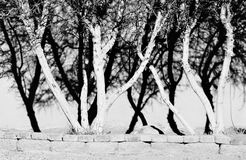 Γραπτές σκιές της ελιάς στοκ εικόνα με δικαίωμα ελεύθερης χρήσης