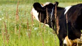 Γραπτή αγελάδα σε ένα χλοώδες λιβάδι μια ηλιόλουστη ημέρα φιλμ μικρού μήκους