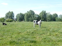 Γραπτή αγελάδα στο λιβάδι Στοκ φωτογραφία με δικαίωμα ελεύθερης χρήσης