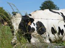 Γραπτή αγελάδα στο λιβάδι Στοκ Φωτογραφία