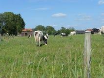 Γραπτή αγελάδα στο λιβάδι Στοκ Εικόνα