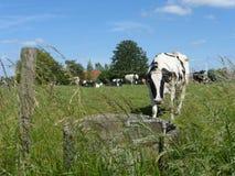 Γραπτή αγελάδα στο λιβάδι Στοκ φωτογραφίες με δικαίωμα ελεύθερης χρήσης