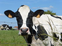 Γραπτή αγελάδα στο λιβάδι Στοκ εικόνα με δικαίωμα ελεύθερης χρήσης