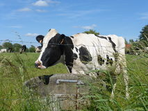 Γραπτή αγελάδα στο λιβάδι Στοκ εικόνες με δικαίωμα ελεύθερης χρήσης