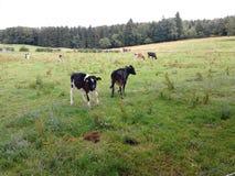 Γραπτή αγελάδα στο λιβάδι Στοκ Εικόνες