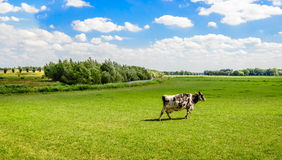 Γραπτή αγελάδα του Χολστάιν που περπατά μόνο στο λιβάδι Στοκ φωτογραφία με δικαίωμα ελεύθερης χρήσης