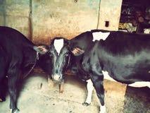 γραπτή αμερικανική αγελάδα Στοκ φωτογραφία με δικαίωμα ελεύθερης χρήσης
