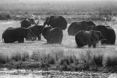 Γραπτή Αφρική Αφρικανικός ελέφαντας στην πράσινη χλόη νερού, εθνικό πάρκο Chobe, Μποτσουάνα Ελέφαντας στο βιότοπο λιμνών Wildli Στοκ Εικόνα