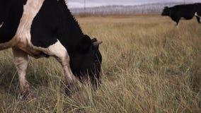 Γραπτή βοσκή αγελάδων σε ένα λιβάδι φθινοπώρου Κλείστε αυξημένος απόθεμα βίντεο