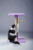 Γραπτή γάτα που ακονίζει τα νύχια του σε μια γρατσουνίζοντας θέση, ο Στοκ Εικόνες