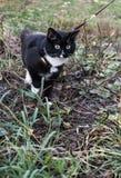 Γραπτή γάτα που περπατά σε ένα λουρί στοκ εικόνες