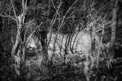 Γραπτή εικόνα ενός νέου κυνηγιού λιονταριών Στοκ Εικόνα