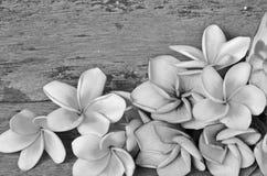 Γραπτή εικόνα των λουλουδιών plumeria Στοκ φωτογραφίες με δικαίωμα ελεύθερης χρήσης