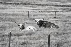 Γραπτή εικόνα δύο Τέξας Longhorns του ξαπλώματος Στοκ φωτογραφία με δικαίωμα ελεύθερης χρήσης