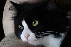 Γραπτή εσωτερική γάτα Στοκ Εικόνες