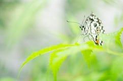 Γραπτή πεταλούδα κινηματογραφήσεων σε πρώτο πλάνο στο θολωμένο πράσινο υπόβαθρο φύλλων στοκ φωτογραφία
