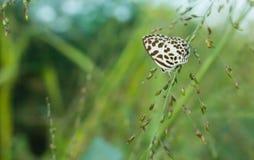 Γραπτή πεταλούδα στη φύση στοκ φωτογραφία
