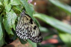 Γραπτή πεταλούδα Στοκ φωτογραφία με δικαίωμα ελεύθερης χρήσης