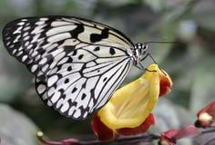 Γραπτή πεταλούδα Στοκ Εικόνα