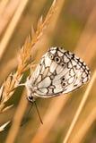Γραπτή πεταλούδα Στοκ Φωτογραφία