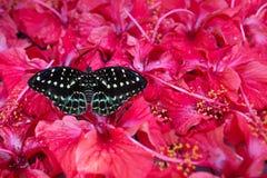 Γραπτή συνεδρίαση πεταλούδων στα άνθη Hibiskus, Κουάλα Λουμπούρ, Μαλαισία Στοκ εικόνες με δικαίωμα ελεύθερης χρήσης