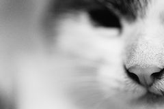 Γραπτή φωτογραφία της επικεφαλής κινηματογράφησης σε πρώτο πλάνο μιας γάτας Στοκ εικόνες με δικαίωμα ελεύθερης χρήσης