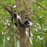 Γραπτοί πίθηκοι colobus Στοκ Φωτογραφία