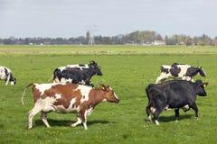 Γραπτοί χορός και τρέξιμο αγελάδων στο ολλανδικό λιβάδι την πρώτη ημέρα Στοκ εικόνες με δικαίωμα ελεύθερης χρήσης