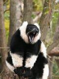 Γραπτός ανοικτός στοματικός κερκοπίθηκος vari στο ζωικό πάρκο Sainte Croix σε Μοζέλλα στοκ εικόνες