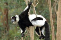 Γραπτός κερκοπίθηκος Ruffed Στοκ Φωτογραφία
