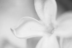 Γραπτός μακρο πυροβολισμός της πασχαλιάς Στοκ φωτογραφίες με δικαίωμα ελεύθερης χρήσης
